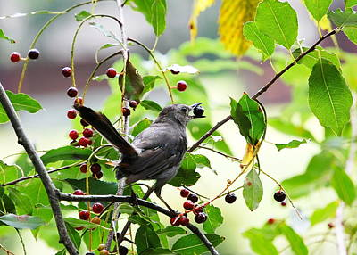 Poster featuring the photograph Catbird With Berry - Rear View by Mary McAvoy