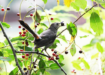 Catbird With Berry II Poster by Mary McAvoy