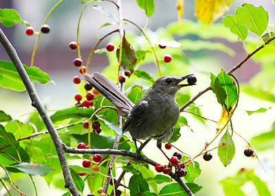 Catbird With Berry IIi Poster