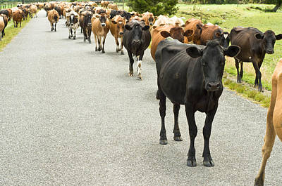 Cattle Drive On A Road  Poster