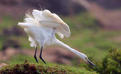 Cattle Egret Poster by Mcb Bank Bhalwal