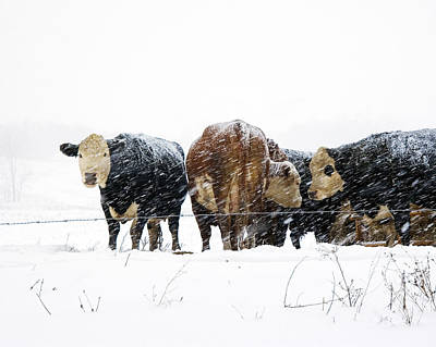 Cattle In A Snowstorm In Southwest Michigan Poster by Randall Nyhof