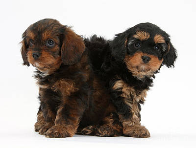 Cavapoo Pups Poster by Mark Taylor