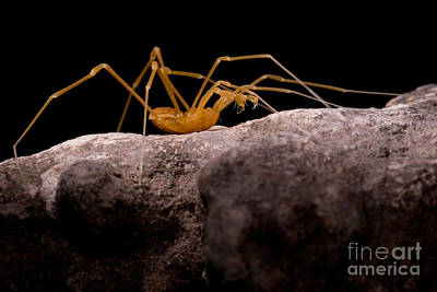 Cave Harvestman Poster by Dant� Fenolio