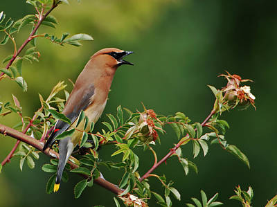 Poster featuring the photograph Cedar Waxwing by Jim Boardman