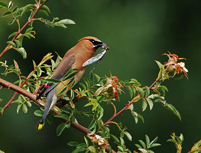 Poster featuring the photograph Cedar Waxwing With A Bug by Jim Boardman