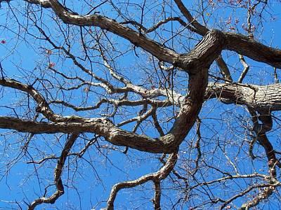 Centenarian Oak Poster