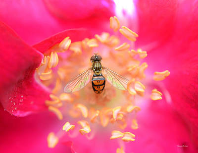 Poster featuring the photograph Centerpiece Bee In A Rose by George Bostian