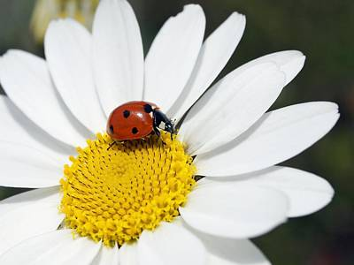 Chamomile Flower And Ladybird Poster by Adrian Bicker