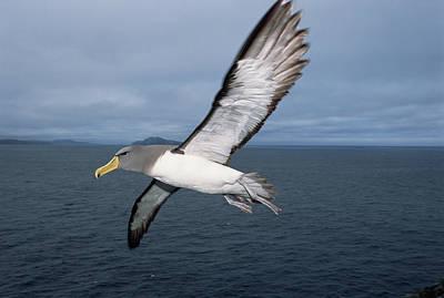 Chatham Albatross Thalassarche Eremita Poster