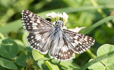Checkered Skipper On Clover 1 Poster