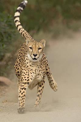 Cheetah Acinonyx Jubatus In Mid-stride Poster by San Diego Zoo