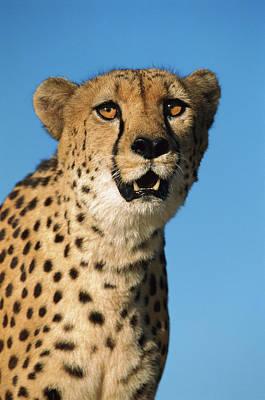 Cheetah Acinonyx Jubatus Portrait Poster by Ingo Arndt