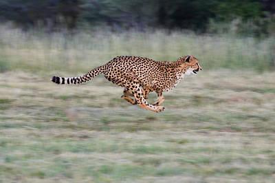 Cheetah Acinonyx Jubatus Running Poster by Suzi Eszterhas
