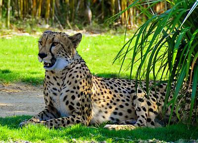 Cheetah At Rest Poster