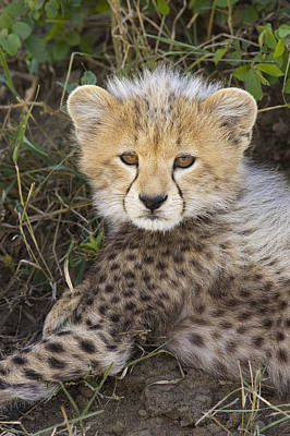 Cheetah Ten Week Old Cub Portrait Poster by Suzi Eszterhas