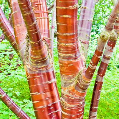 Cherry Birch Tree Poster by Tom Gowanlock