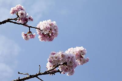 Cherry Blossom, Flower, Alishan, Chiayi, Taiwan, Asia, Poster