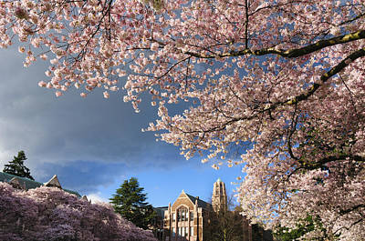 Cherry Blossoms At University Of Washington Poster by Greg Vaughn