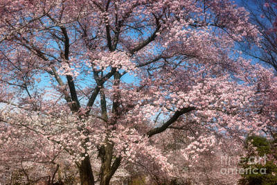 Cherry Blossoms Blooming Poster