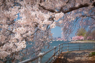 Cherry Blossoms On The Potomac Five Poster