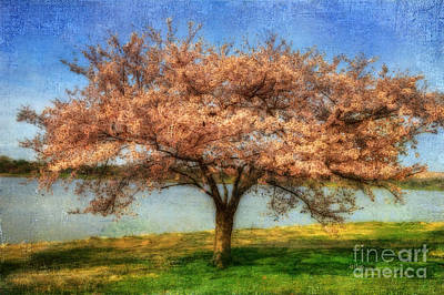Cherry Tree Poster by Lois Bryan