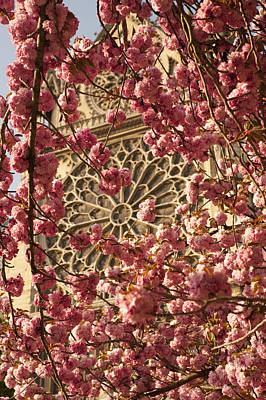 Cherry Trees In Bloom Near Notre Dame Cathedral Poster by Owen Franken