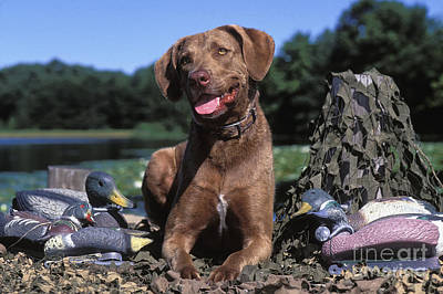 Chessie And Decoys - Fs000666 Poster by Daniel Dempster