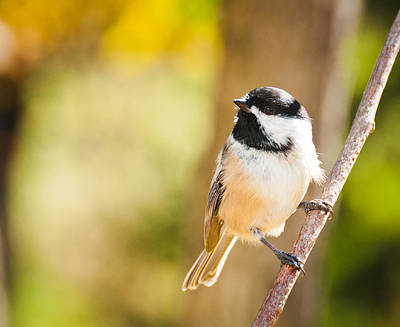 Poster featuring the photograph Chickadee by Cheryl Baxter
