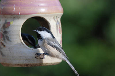 Chickadee Posing At Feeder Poster