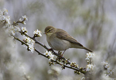 Chiff Chaff On Blackthorn Blossom Poster