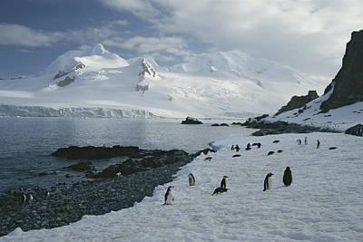 Chin Strap Penguins Congregate Poster
