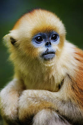 China, Shaanxi Province, Young Golden Monkey (rhinopithecus Roxellana) Poster by Jeremy Woodhouse