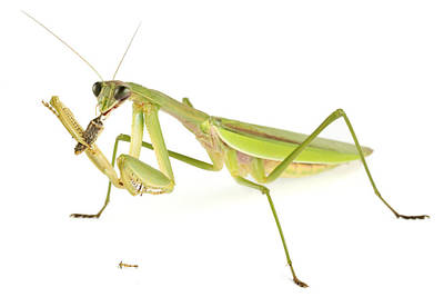 Chinese Mantis Feeding On Prey Poster by Piotr Naskrecki