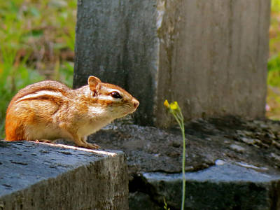 Chipmunk With Flower Poster
