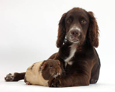 Chocolate Cocker Spaniel Pup Poster