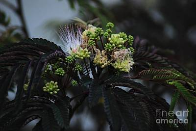 Chocolate Mimosa Tree Poster by Mark McReynolds
