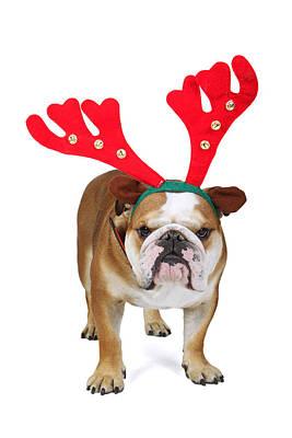 Christmas England Bulldog Poster by Mlorenzphotography
