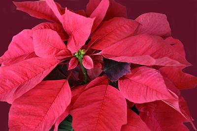 Christmas Flower Poster