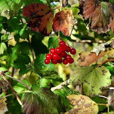 Christmas Red Berry Grapevine Poster