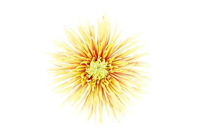 Chrysanthemum Flower Poster by Nicholas Rigg
