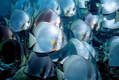 Circular Spadefish Poster