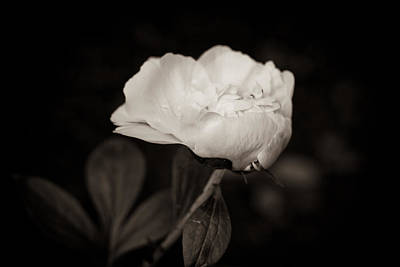 Poster featuring the photograph Classic Peony by Sara Frank