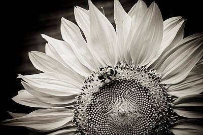 Poster featuring the photograph Classic Sunflower by Sara Frank