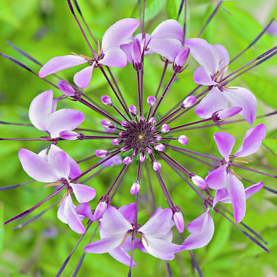 Cleome Hassleriana  Flower Poster by Jacky Parker Photography