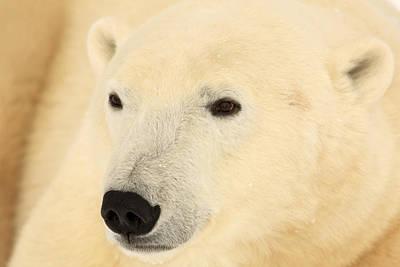 Close Up Of A Polar Bear, Churchill Poster by Robert Postma