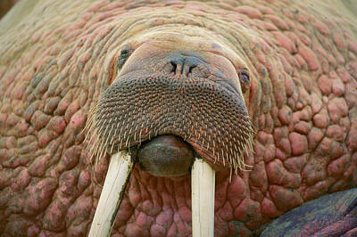 Close Up Of A Walrus Poster
