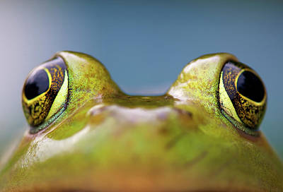 Close-up Of American Bullfrog Eyes Poster