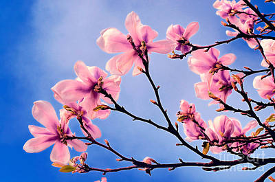 Cherry Blossums Poster