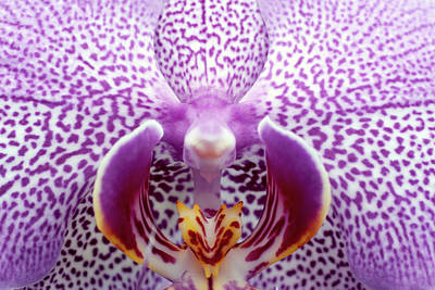 Close Up Of Orchid Flower Poster by Oliver Santana Martínez